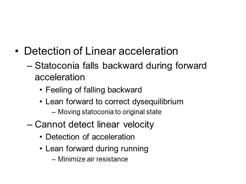 Detection of Linear acceleration –Statoconia falls backward during forward acceleration Feeling of falling backward Lean forward to correct dysequilib