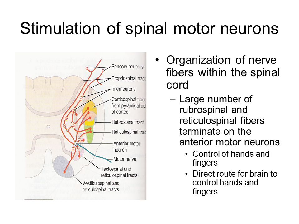 Stimulation of spinal motor neurons Organization of nerve fibers within the spinal cord –Large number of rubrospinal and reticulospinal fibers termina