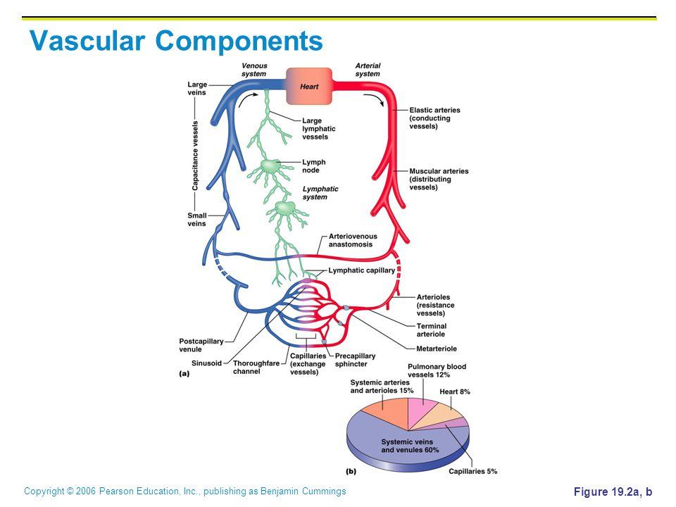 Copyright © 2006 Pearson Education, Inc., publishing as Benjamin Cummings Vascular Components Figure 19.2a, b