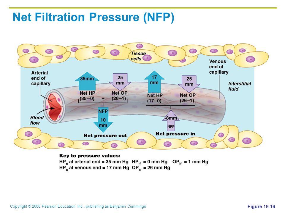 Copyright © 2006 Pearson Education, Inc., publishing as Benjamin Cummings Net Filtration Pressure (NFP) Figure 19.16