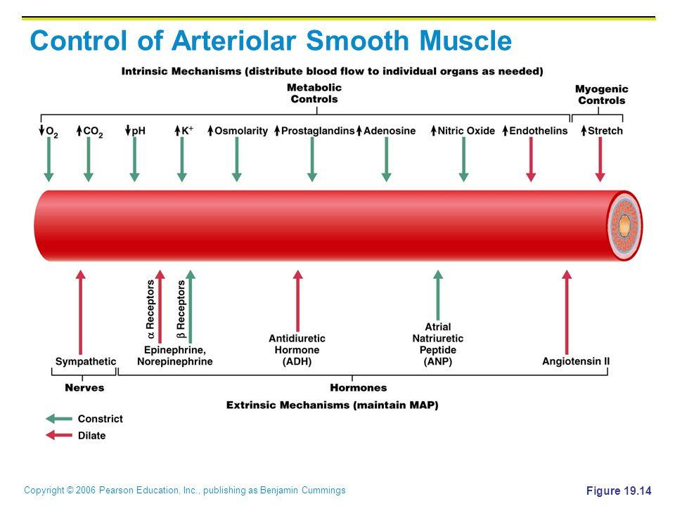 Copyright © 2006 Pearson Education, Inc., publishing as Benjamin Cummings Control of Arteriolar Smooth Muscle Figure 19.14