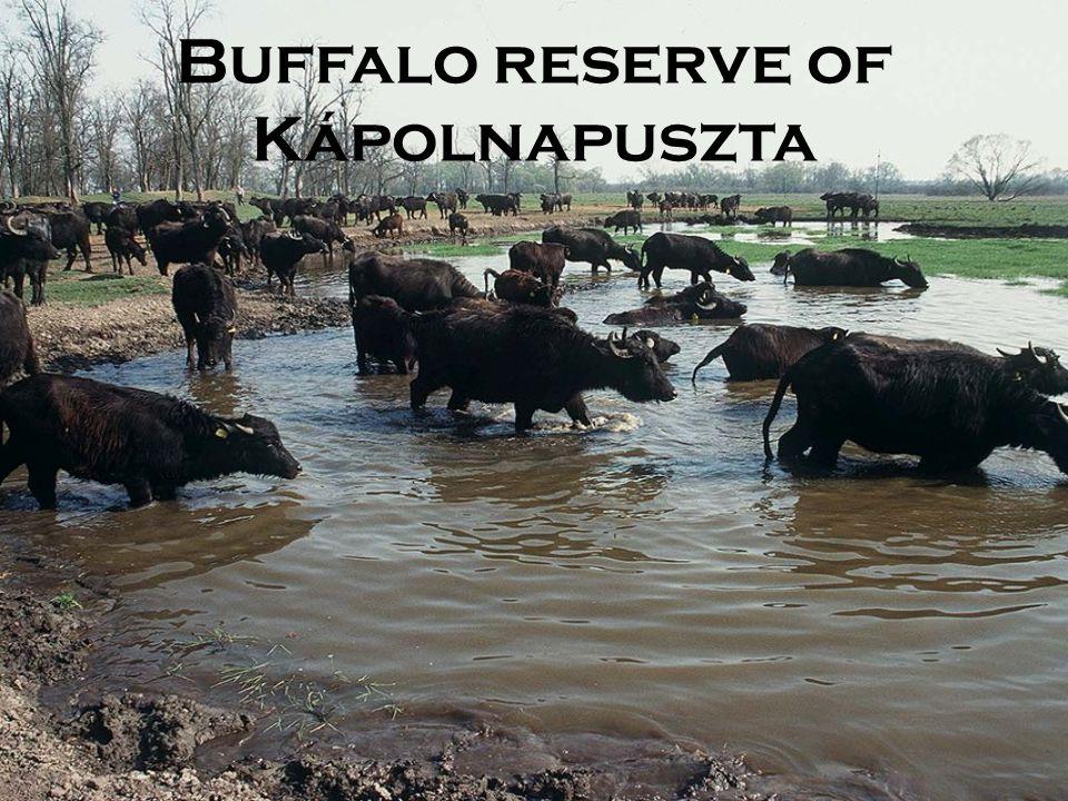 Buffalo reserve of Kápolnapuszta