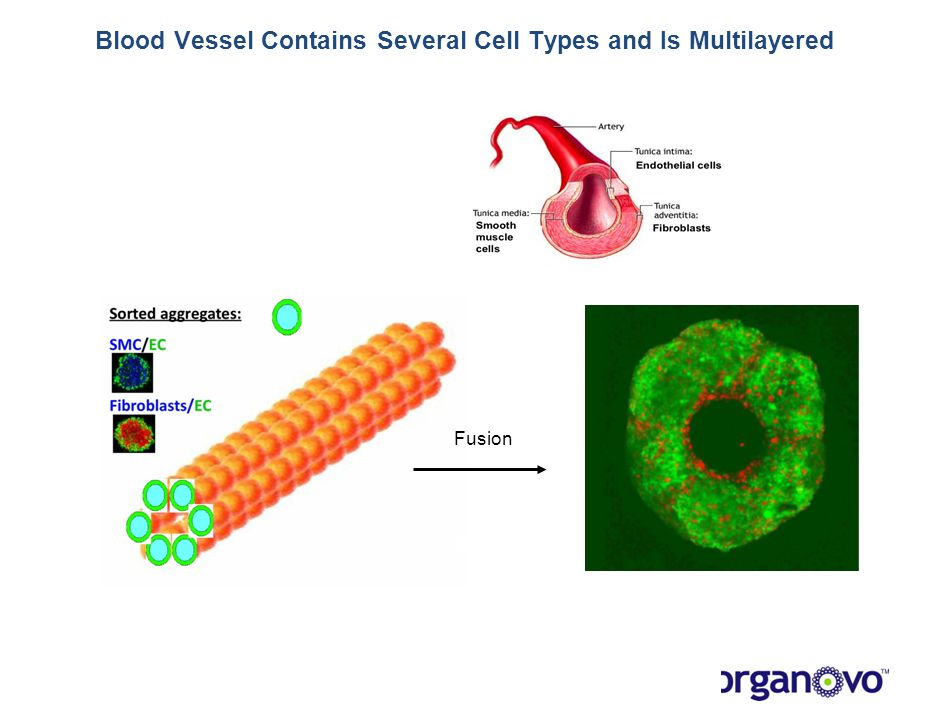 Fusion Blood Vessel Contains Several Cell Types and Is Multilayered