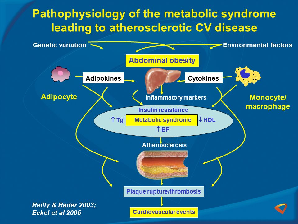 Reilly & Rader 2003; Eckel et al 2005 Plaque rupture/thrombosis Cardiovascular events Atherosclerosis Insulin resistance  Tg Metabolic syndrome  HDL  BP Inflammatory markers Pathophysiology of the metabolic syndrome leading to atherosclerotic CV disease Adipocyte Monocyte/ macrophage Genetic variationEnvironmental factors Abdominal obesity CytokinesAdipokines