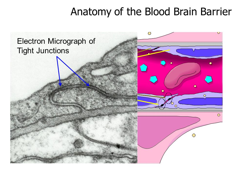Anatomy of the Blood Brain Barrier Electron Micrograph of Tight Junctions