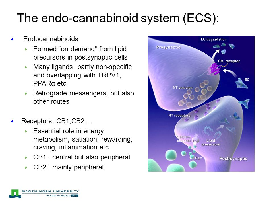 The endo-cannabinoid system (ECS):  Endocannabinoids:  Formed on demand from lipid precursors in postsynaptic cells  Many ligands, partly non-specific and overlapping with TRPV1, PPARα etc  Retrograde messengers, but also other routes  Receptors: CB1,CB2….