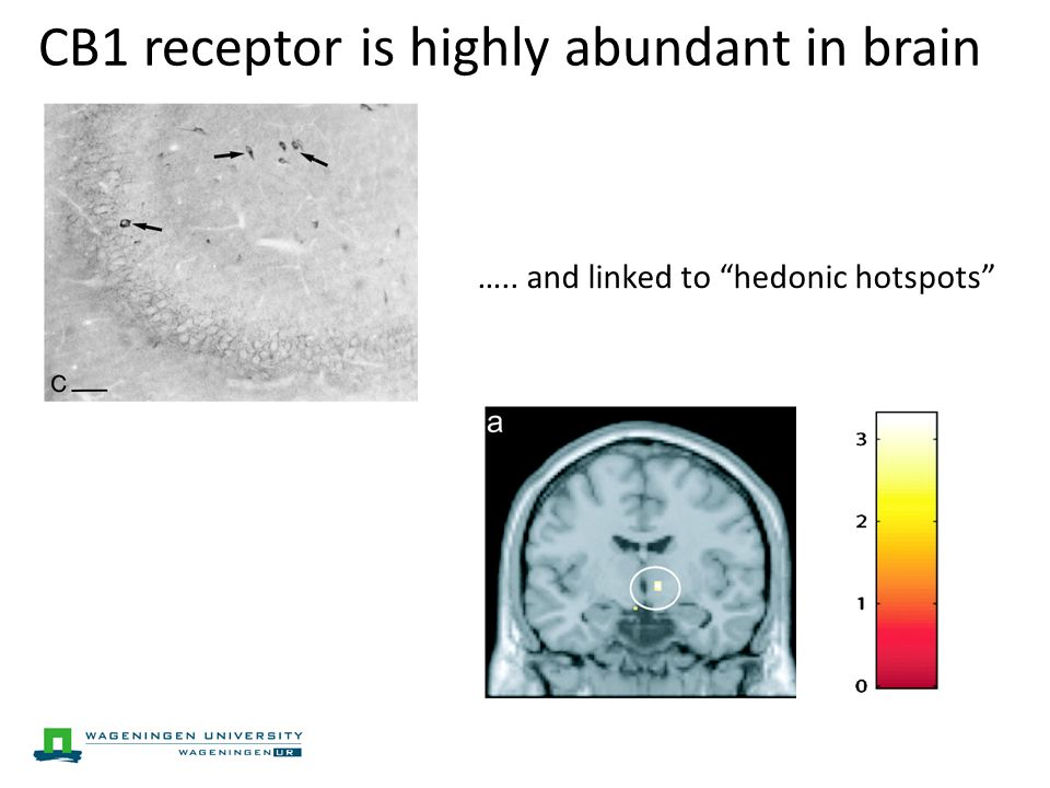 CB1 receptor is highly abundant in brain ….. and linked to hedonic hotspots