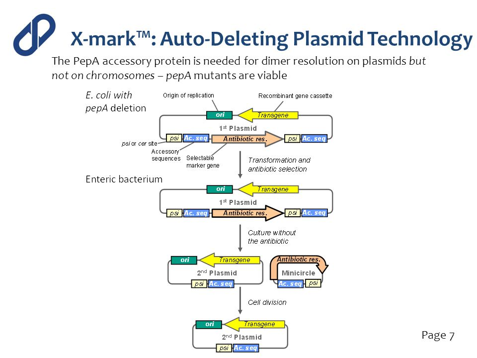 X-mark™: Auto-Deleting Plasmid Technology Page 7 The PepA accessory protein is needed for dimer resolution on plasmids but not on chromosomes – pepA m