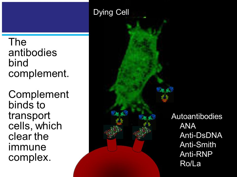 Killer Antibodies The antibodies bind complement.
