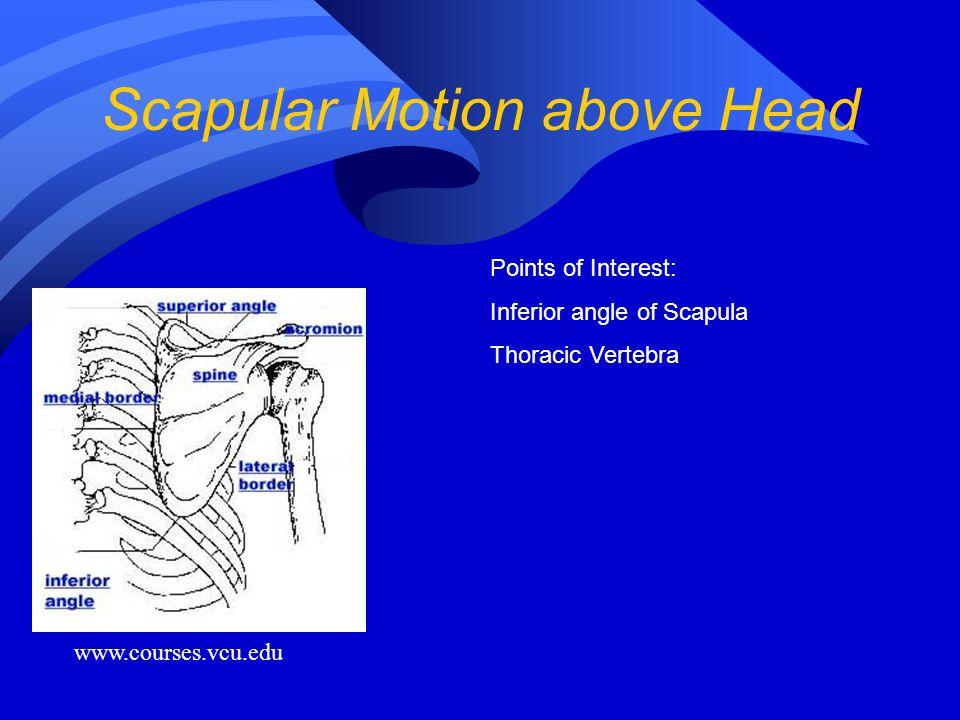 Scapular Motion above Head www.courses.vcu.edu Points of Interest: Inferior angle of Scapula Thoracic Vertebra