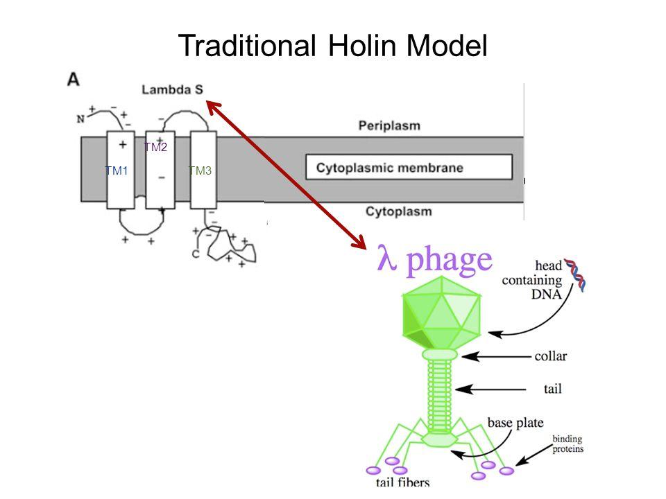 Traditional Holin Model TM1 TM2 TM3