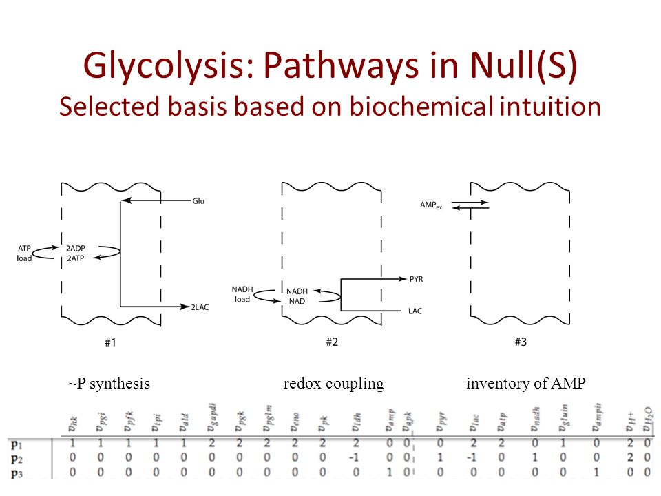 Glycolysis: Pathways in Null(S) Selected basis based on biochemical intuition ~P synthesisredox couplinginventory of AMP