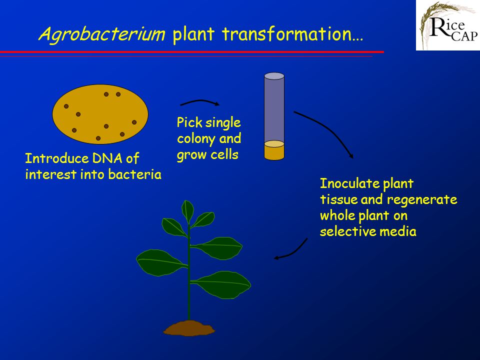 Pick single colony and grow cells Inoculate plant tissue and regenerate whole plant on selective media Agrobacterium plant transformation… Introduce DNA of interest into bacteria