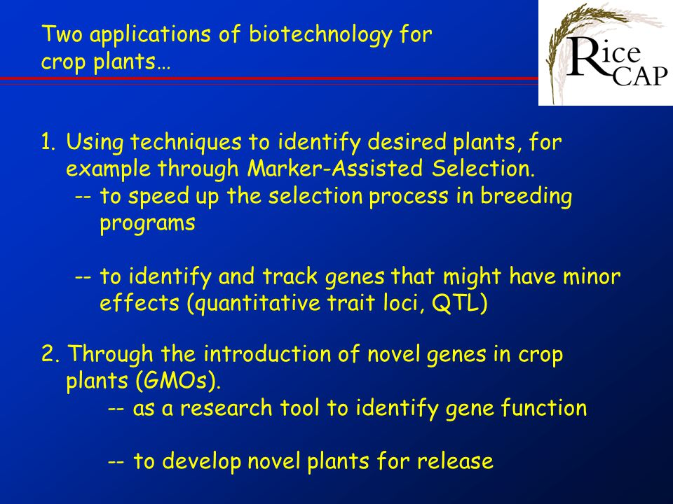 Two applications of biotechnology for crop plants… 1.Using techniques to identify desired plants, for example through Marker-Assisted Selection.