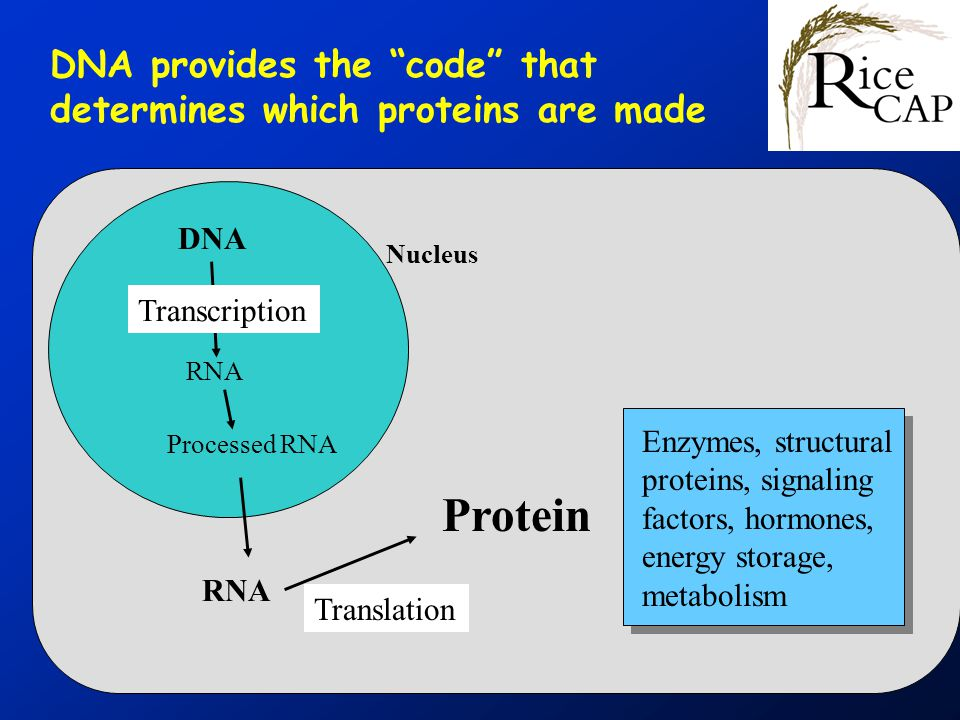 Nucleus DNA RNA Transcription Processed RNA RNA Protein Translation Enzymes, structural proteins, signaling factors, hormones, energy storage, metabolism DNA provides the code that determines which proteins are made