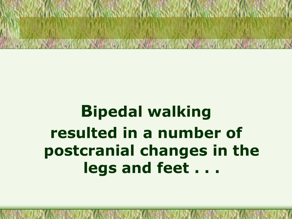 B ipedal walking resulted in a number of postcranial changes in the legs and feet...