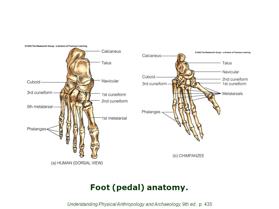 Foot (pedal) anatomy. Understanding Physical Anthropology and Archaeology, 9th ed., p. 435