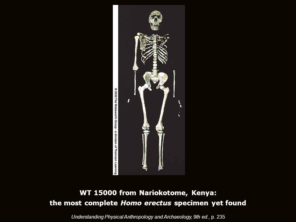 WT 15000 from Nariokotome, Kenya: the most complete Homo erectus specimen yet found Understanding Physical Anthropology and Archaeology, 9th ed., p.