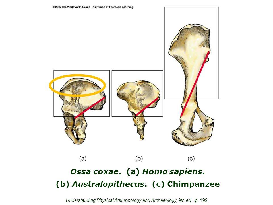 Ossa coxae. (a) Homo sapiens. (b) Australopithecus.