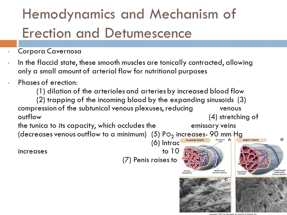 Hemodynamics and Mechanism of Erection and Detumescence Corpora Cavernosa In the flaccid state, these smooth muscles are tonically contracted, allowing only a small amount of arterial flow for nutritional purposes Phases of erection: (1) dilation of the arterioles and arteries by increased blood flow (2) trapping of the incoming blood by the expanding sinusoids (3) compression of the subtunical venous plexuses, reducing venous outflow(4) stretching of the tunica to its capacity, which occludes the emissary veins (decreases venous outflow to a minimum)(5) P O 2 increases- 90 mm Hg (6) Intracavernous pressure increases to 100 mm Hg (7) Penis raises to erect state