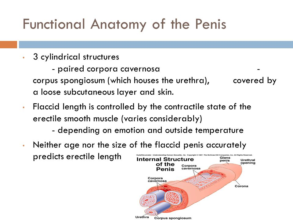 Functional Anatomy of the Penis 3 cylindrical structures - paired corpora cavernosa - corpus spongiosum (which houses the urethra), covered by a loose subcutaneous layer and skin.