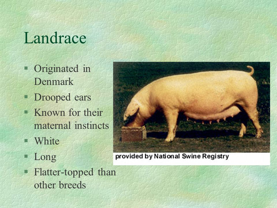 Breeds of Swine Northeastern Agricultural Education Mr. Caffee
