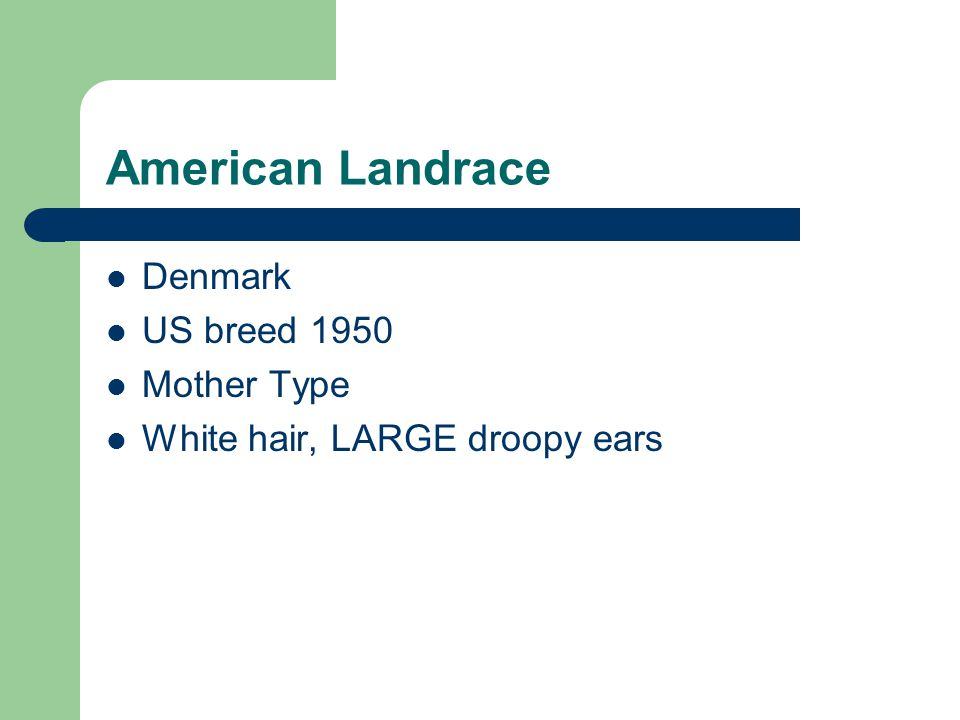 American Landrace Denmark US breed 1950 Mother Type White hair, LARGE droopy ears