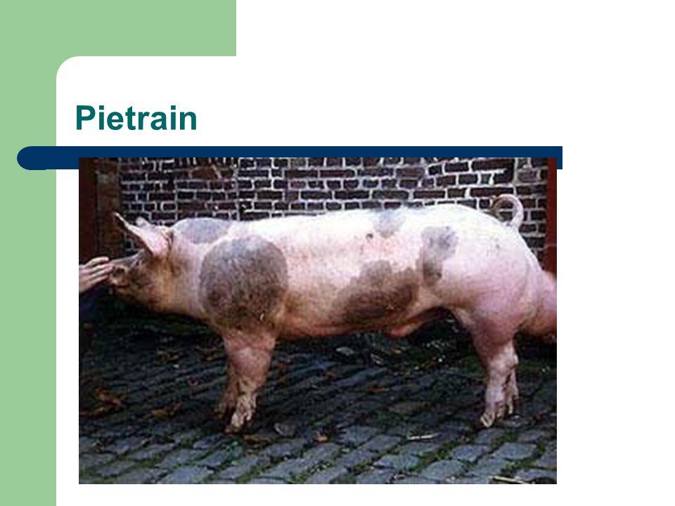 Pietrain