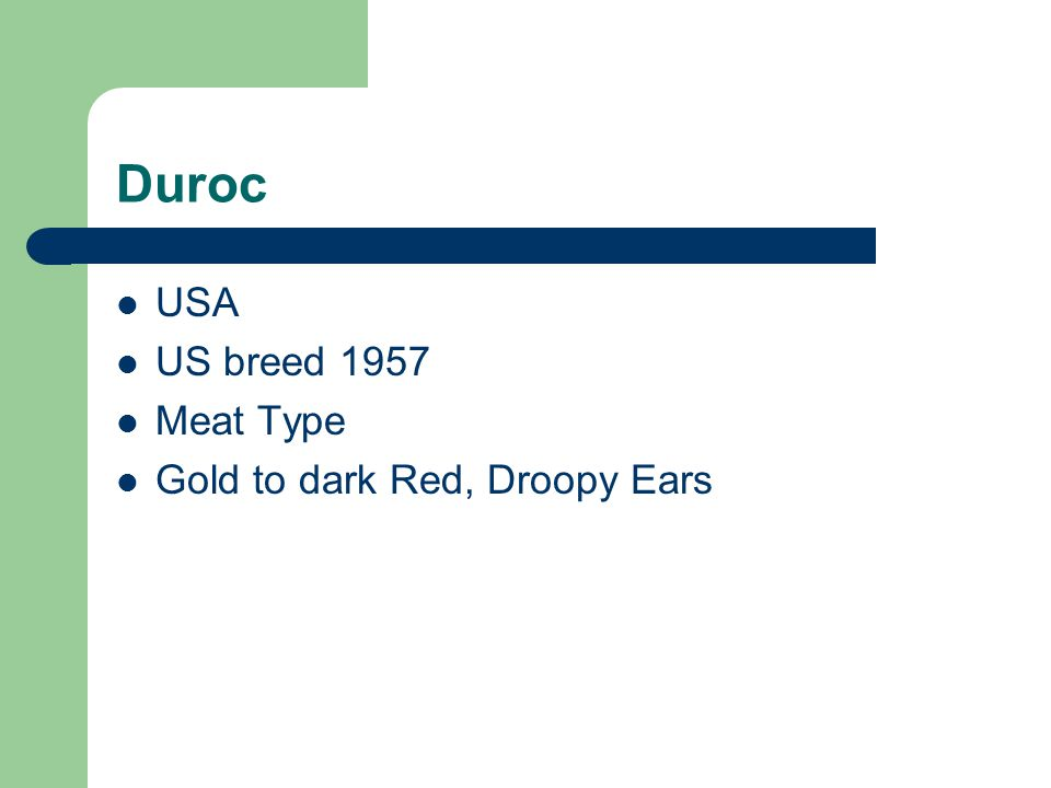 Duroc USA US breed 1957 Meat Type Gold to dark Red, Droopy Ears