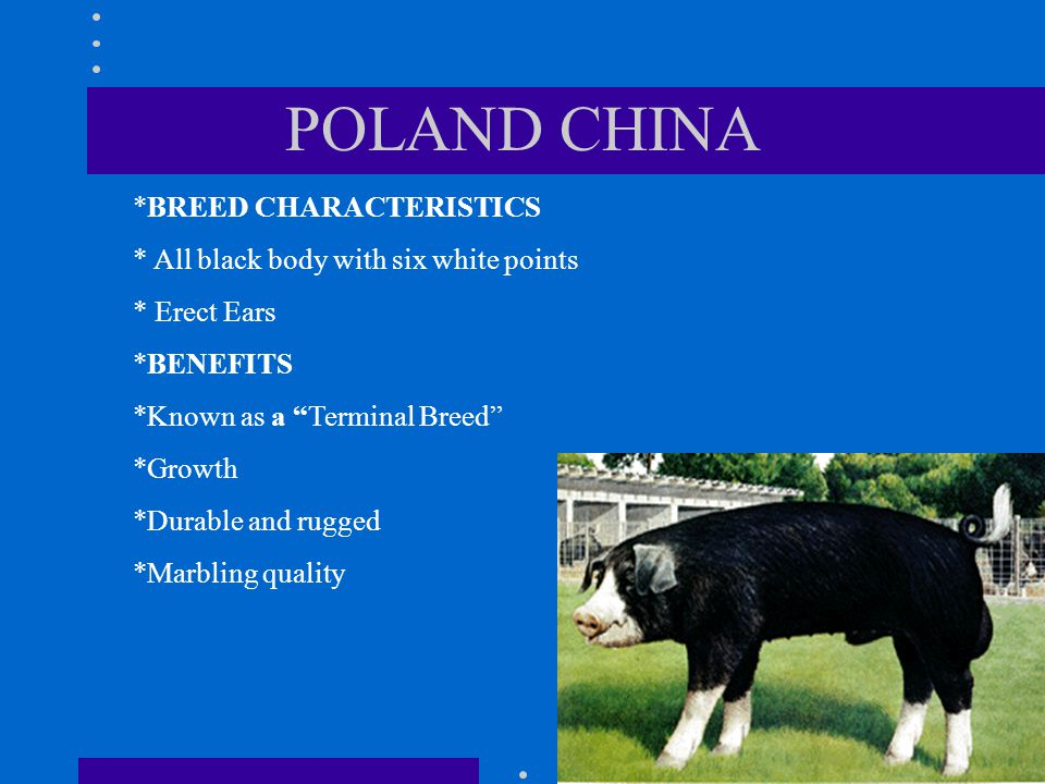 POLAND CHINA *BREED CHARACTERISTICS * All black body with six white points * Erect Ears *BENEFITS *Known as a Terminal Breed *Growth *Durable and rugged *Marbling quality
