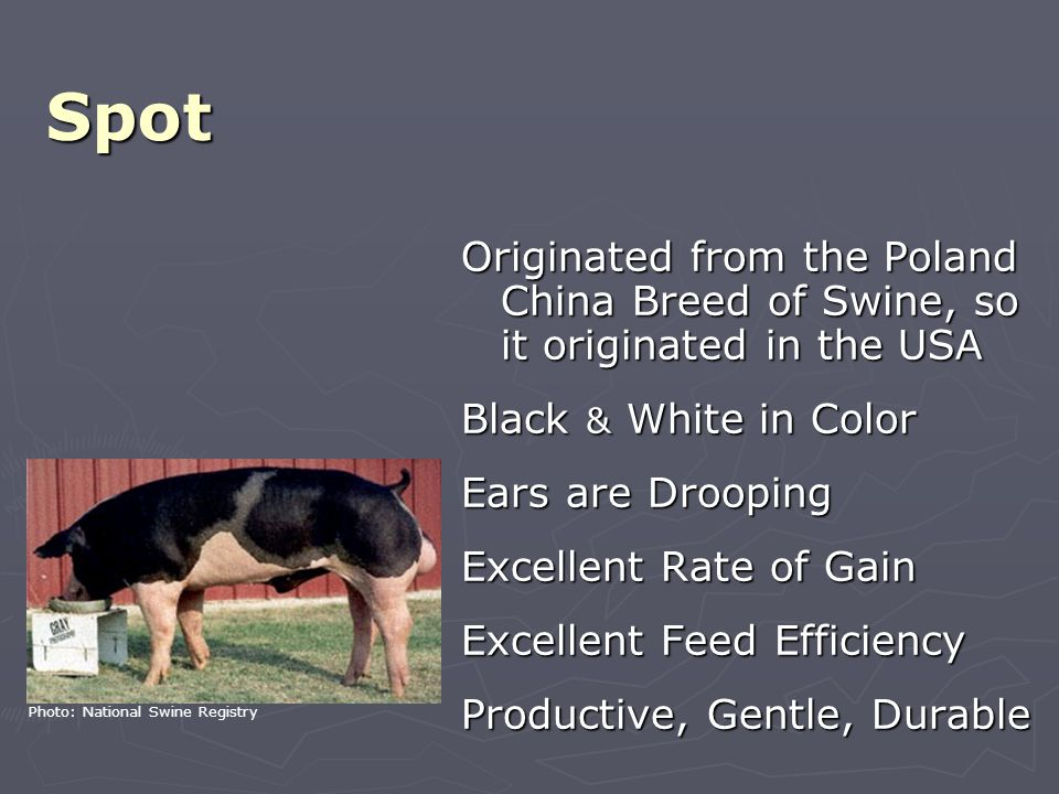 Spot Originated from the Poland China Breed of Swine, so it originated in the USA Black & White in Color Ears are Drooping Excellent Rate of Gain Excellent Feed Efficiency Productive, Gentle, Durable Photo: National Swine Registry