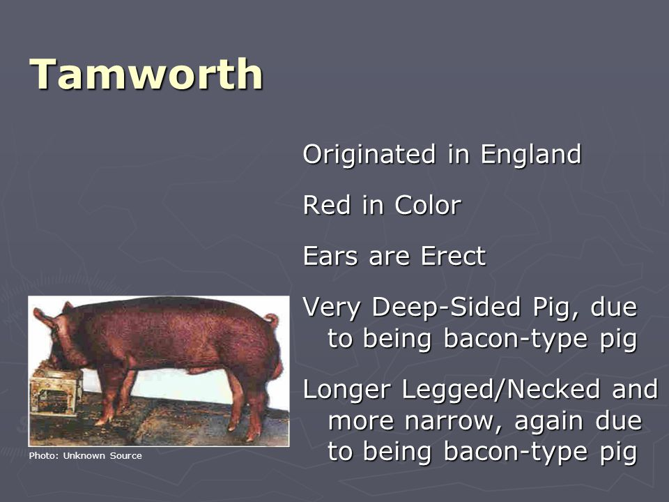 Tamworth Originated in England Red in Color Ears are Erect Very Deep-Sided Pig, due to being bacon-type pig Longer Legged/Necked and more narrow, again due to being bacon-type pig Photo: Unknown Source