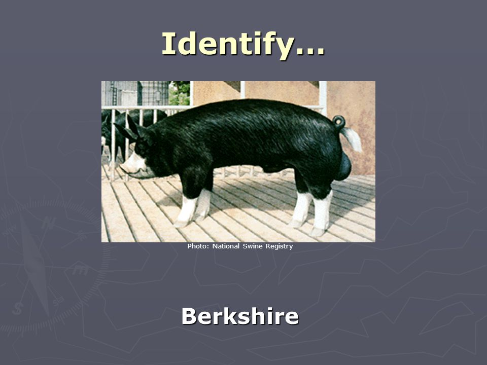 Identify… Berkshire Photo: National Swine Registry