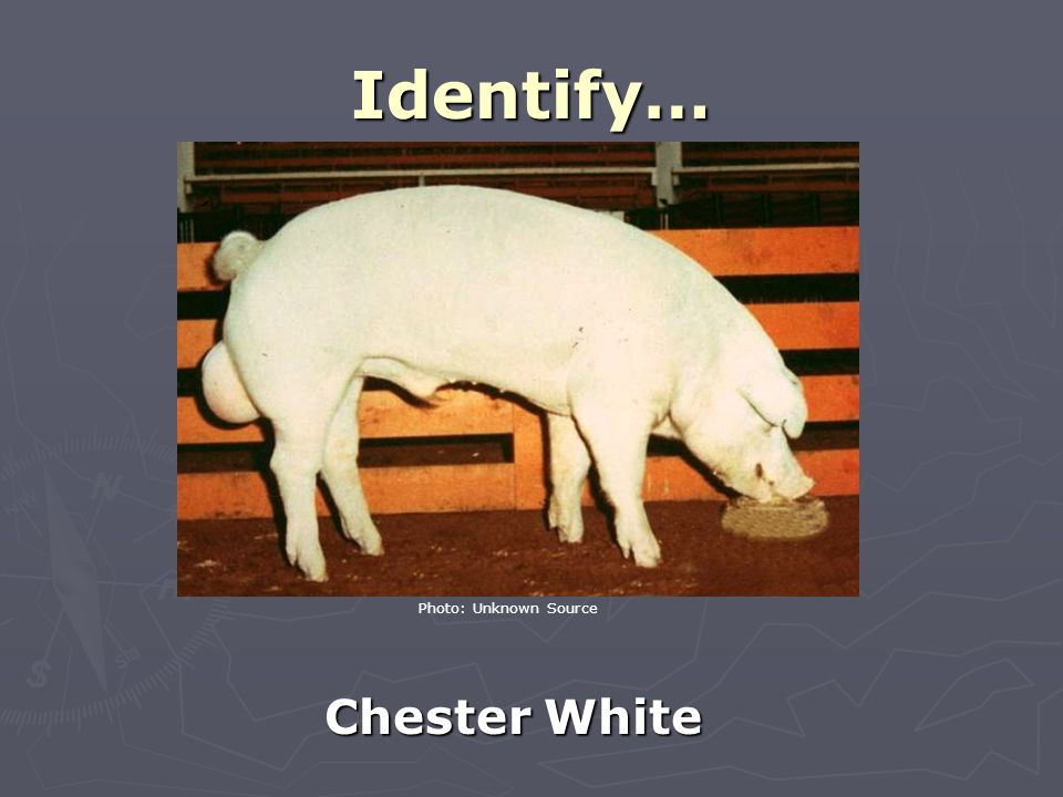 Identify… Chester White Photo: Unknown Source