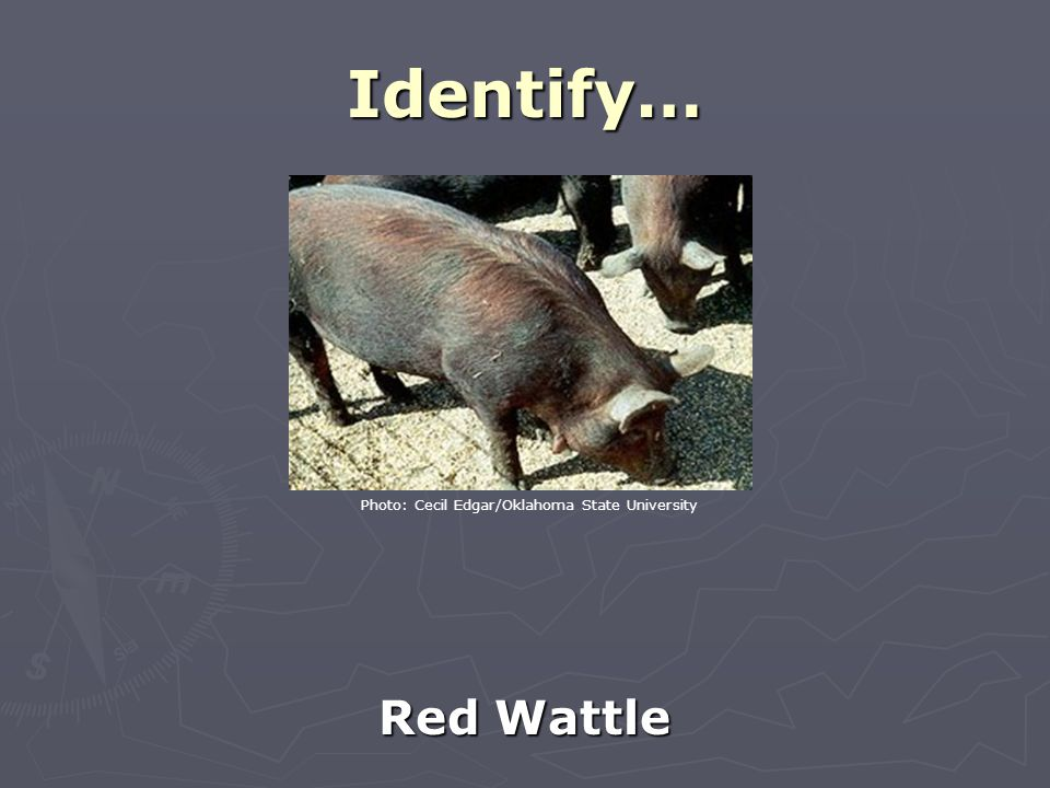 Identify… Red Wattle Photo: Cecil Edgar/Oklahoma State University