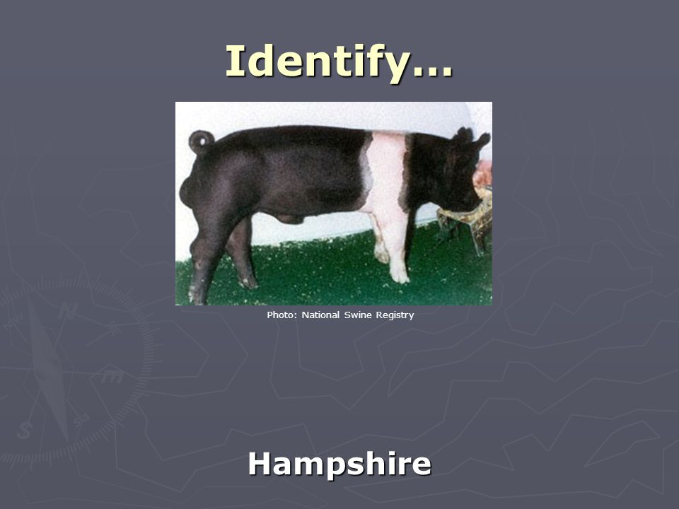 Identify… Hampshire Photo: National Swine Registry