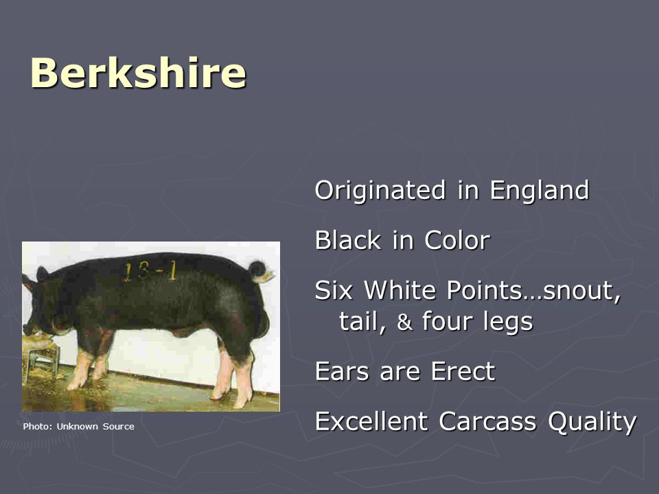 Berkshire Originated in England Black in Color Six White Points…snout, tail, & four legs Ears are Erect Excellent Carcass Quality Photo: Unknown Source