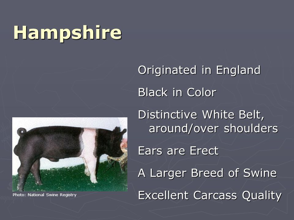 Hampshire Originated in England Black in Color Distinctive White Belt, around/over shoulders Ears are Erect A Larger Breed of Swine Excellent Carcass Quality Photo: National Swine Registry