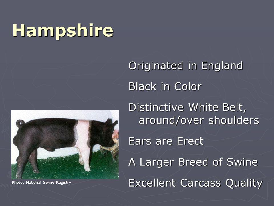 Identify… Hampshire Photo: National Swine Registry
