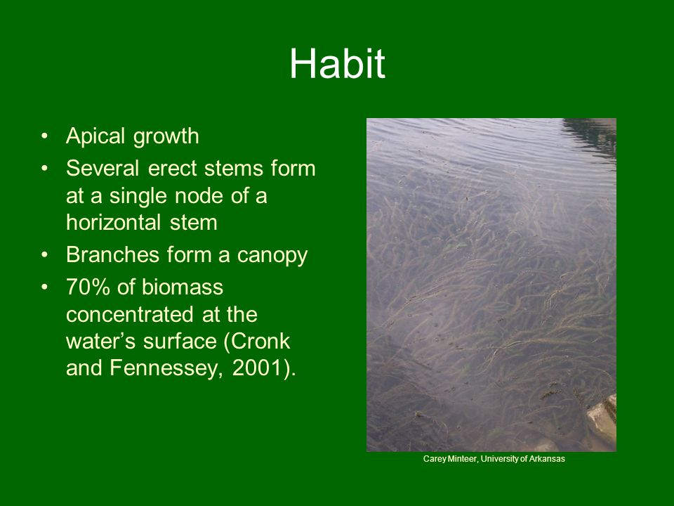 Habit Apical growth Several erect stems form at a single node of a horizontal stem Branches form a canopy 70% of biomass concentrated at the water's s