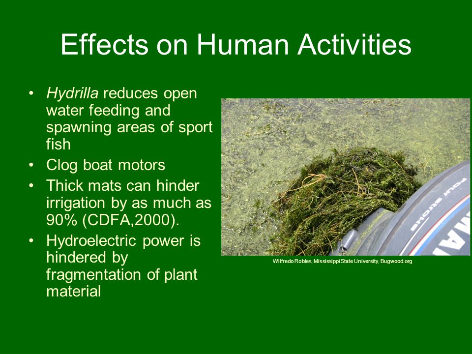 Effects on Human Activities Hydrilla reduces open water feeding and spawning areas of sport fish Clog boat motors Thick mats can hinder irrigation by