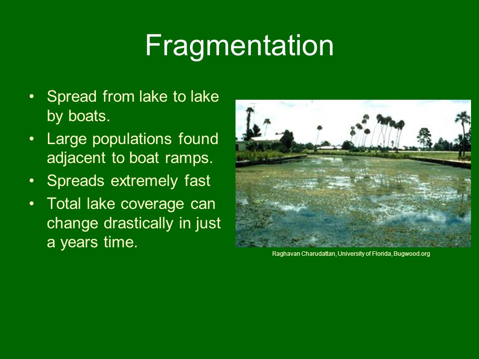 Fragmentation Spread from lake to lake by boats. Large populations found adjacent to boat ramps. Spreads extremely fast Total lake coverage can change