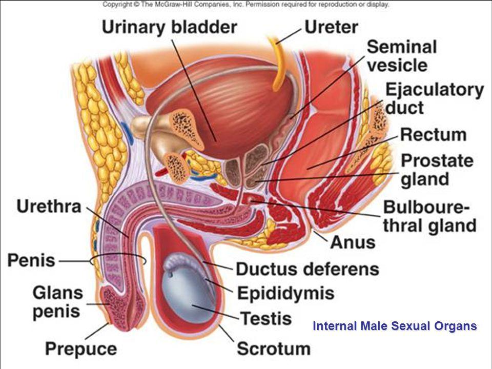 Internal Male Sexual Organs