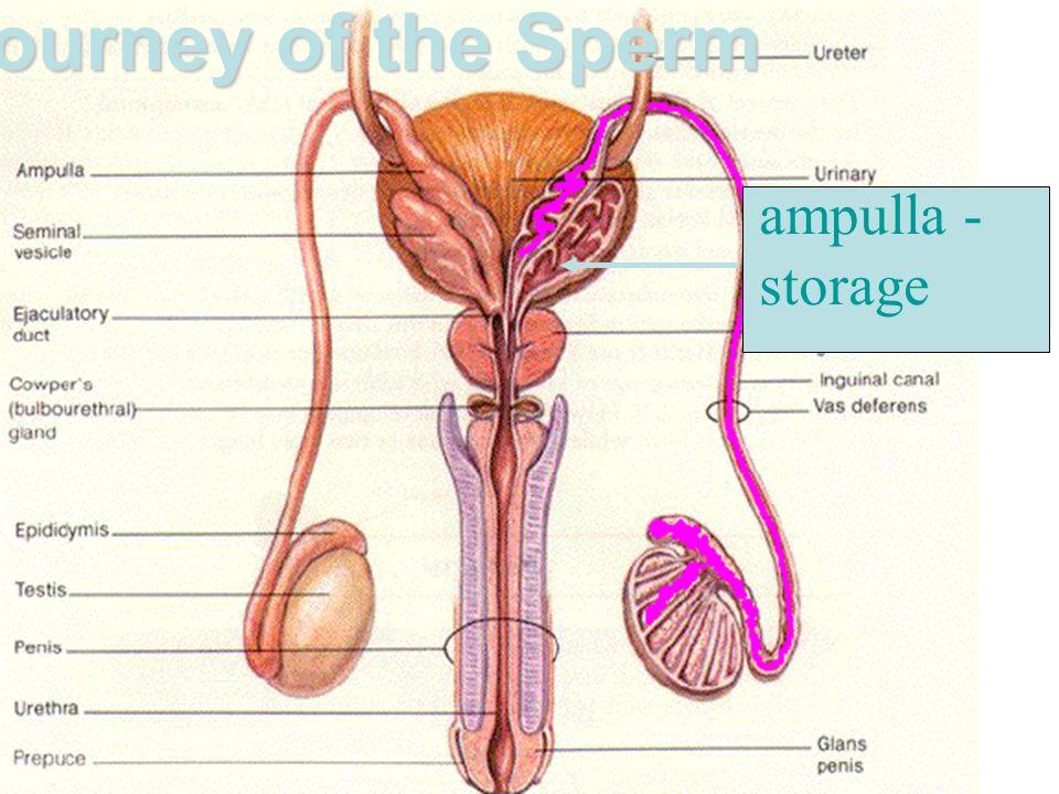 Journey of the Sperm ampulla - storage