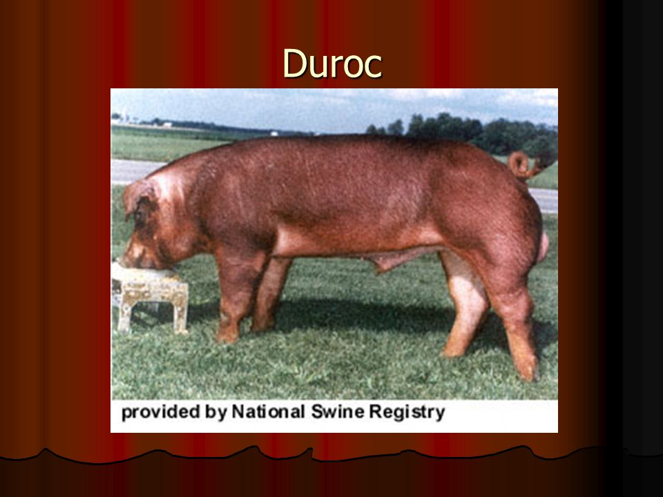 A large red breed with drooping ears, recognized for its mothering ability and carcass conformation. A large red breed with drooping ears, recognized