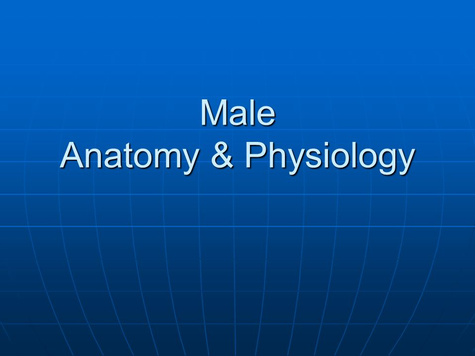 Male Anatomy & Physiology