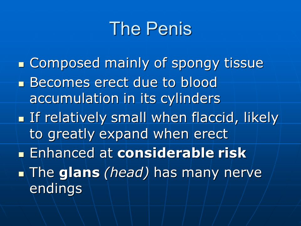 The Penis Composed mainly of spongy tissue Composed mainly of spongy tissue Becomes erect due to blood accumulation in its cylinders Becomes erect due