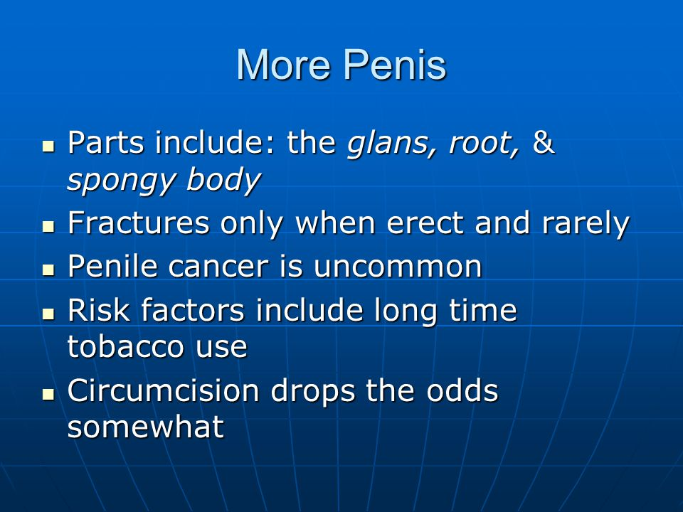 More Penis Parts include: the glans, root, & spongy body Parts include: the glans, root, & spongy body Fractures only when erect and rarely Fractures