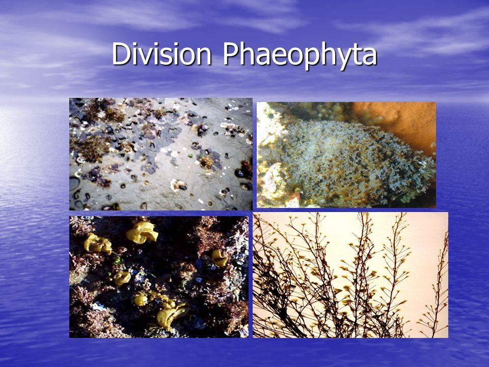 Division Phaeophyta