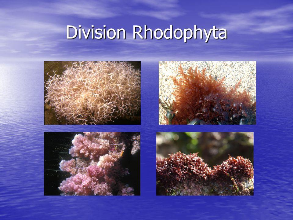 Division Rhodophyta